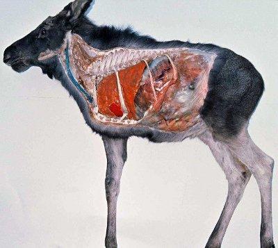 moose ribs