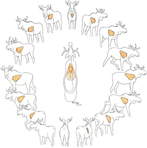 caribou shot placement diagram