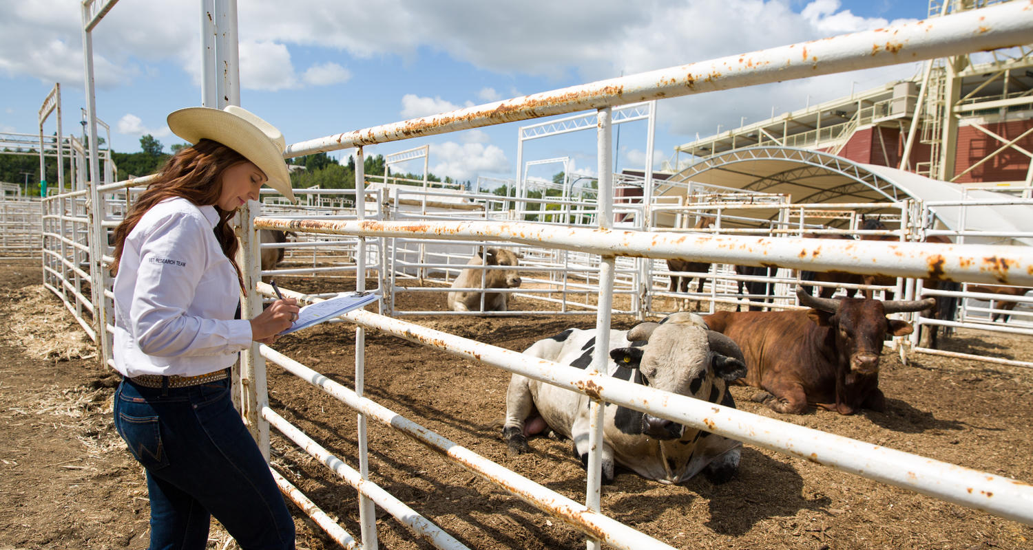 Dr. Ed Pajor, PhD, professor, University of Calgary Faculty of Veterinary Medicine (UCVM), and Anderson-Chisholm Chair in Animal Care and Welfare, is studying the welfare of bucking bulls at the 2019 Calgary Stampede.