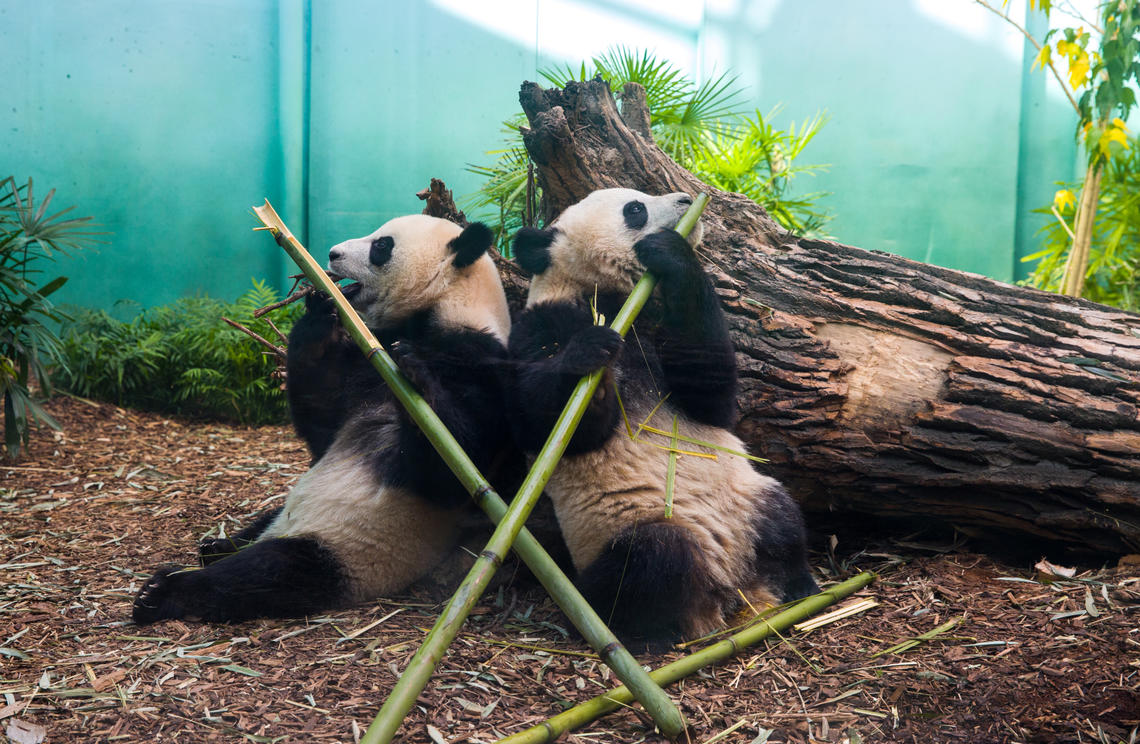 The pandas spend much of their day eating bamboo. When they're not eating, they're usually sleeping, says Sandie Black.