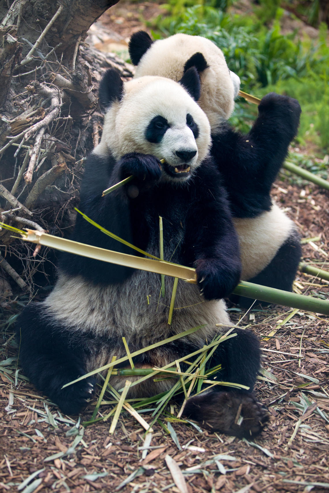 In Chinese culture, the panda is a symbol of friendship and good diplomatic relations.