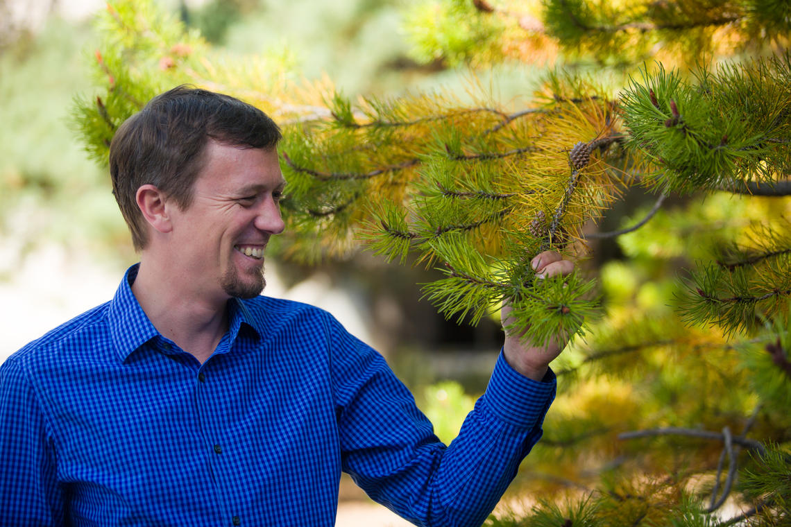 Researcher Sam Yeaman and international colleagues have found that pine and spruce use the same suite of 47 genes for local adaptation to low temperatures, even though the two distinct tree species took different evolutionary paths 140 million years ago – the same amount of time that separates humans and kangaroos.
