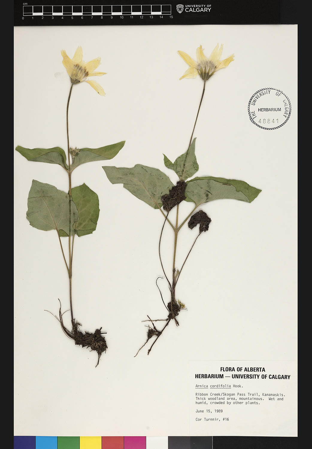 The heart-leaved arnica (Arnica cordifolia 'Hooker') is one of the species represented in the online collection.