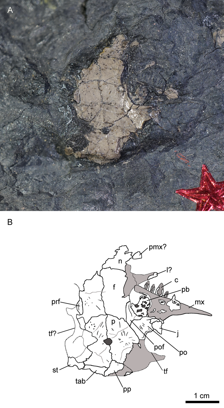 Photograph (A) and interpretive illustration (B) of the new Joggins synapsid, Asaphestera playtris.