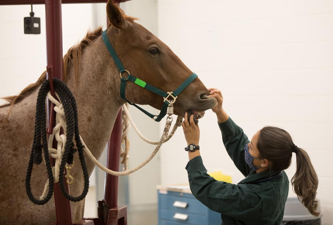 Second-year student gives a horse a check up in clinical skills lab.