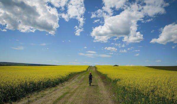 A cyclist passes between two canola fields near Cremona, Alta., in a July 2016.