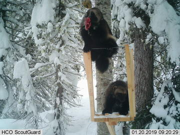 Two wolverines visit a bait station together.