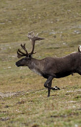 A five-year international study led by Faculty of Science biologists has identified a natural mechanism in caribou that preserves and ensures long-term genetic and behavioural diversity of the species in various habitats across western North America, from Alaska to the Southern Rockies. Photo by Mark Bradley